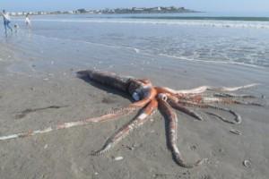 深海怪物4米长大王乌贼陈尸南非海滩专家身体完好程度超稀有